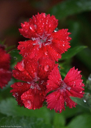 Dianthus Droplets