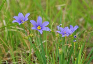 Blue-eyed Grass (Sisyrinchium ensigerum)