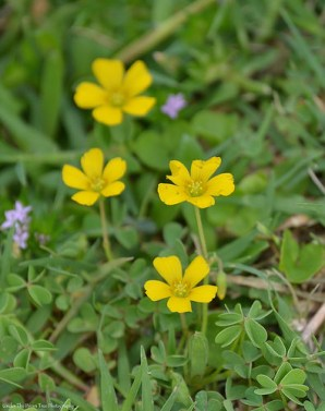 Yellow Wood-Sorrel (Oxalis Dillenii)