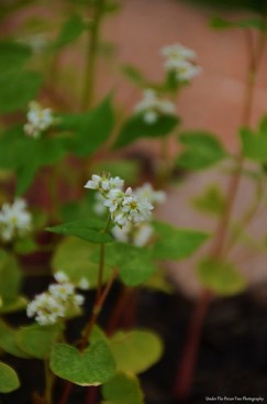 Blooming Buckwheat (Fagopyrum esculentum)