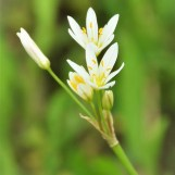 CrowsPoison/False Garlic (Nothoscordum bivalve)