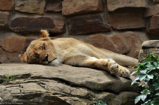 The lioness sleeps in the sun.