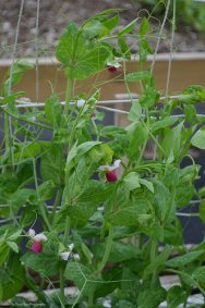 Peas are blooming.