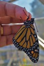 Monarch, short after it emerged from the chrysalis