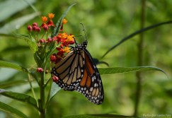 This Monarch stopped and laid eggs in my yard, before it migrated south to Mexico.