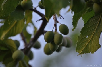 Mexican Plums (Prunus mexicana)