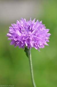 Bachelor Button/Cornflower (Centaurea cyanus)