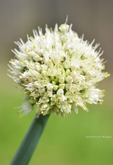 Green Onion/Scallion (Allium fistulosum)