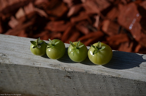The first four cherry 'maters of the season.