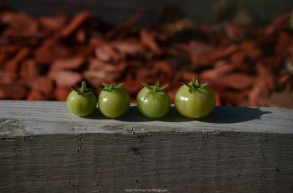 "Four little 'maters sitting on a ""bench"" ... ;)"