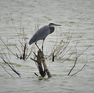 Great Blue Heron at Lewisville Lake