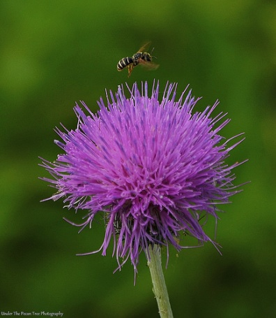 Hungry Bee hovers over a thistle
