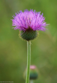 Blooming Thistle