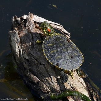 Tiny Red-eared Slider Turtle