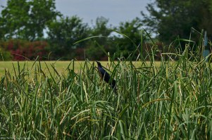 Great-tailed Grackle on cattail