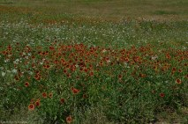 Indian Blankets cover the Texas Prairie.
