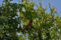 This Northern Cardinal sang his heart out to his mate.