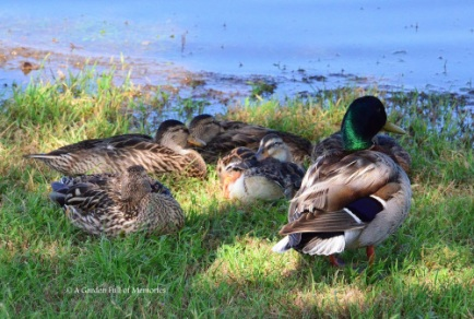It's nap time for the ducks. The males were on the lookout, while the females took a nap.