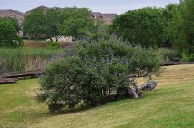 Vitex tree at Josey Ranch Lake