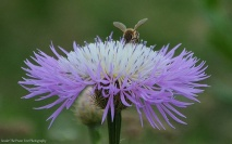 Honey Bee looks for nectar on American Basket Flower