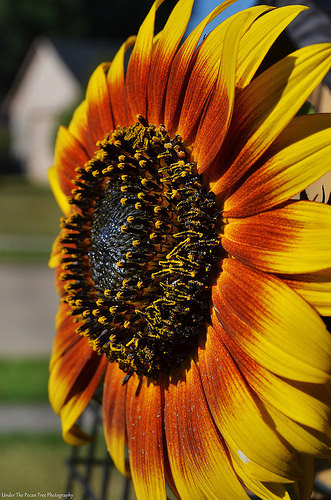 """Autumn Beauty"" Sunflower"