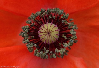 The stamen and seed pod of a poppy close-up