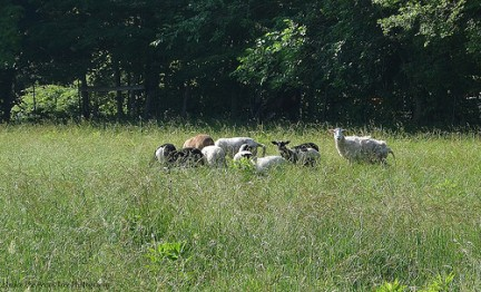 Katja has some sheep on her farm.