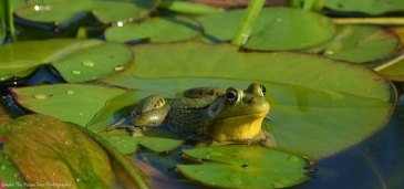 Mr. Frog was confused, after so many kids chasing him all over the pond. He needed some rest on the lily petal after that.