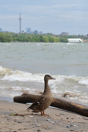 Mother Duck keeps a watchful eye out.