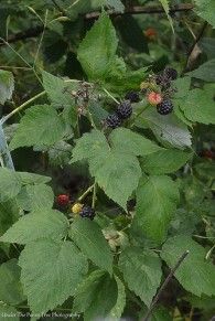 Blackberry or Dewberry (?)