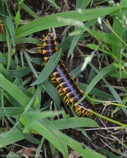 Katelynn found a centipede in the grass.