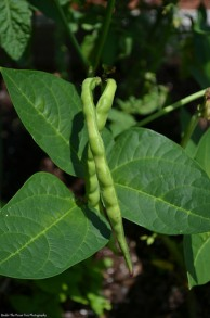 Hmm, we are growing Black-eyed Peas in our garden.