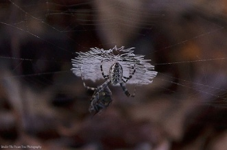 The Orb Weaver Spider caught itself a nice meal, right there.