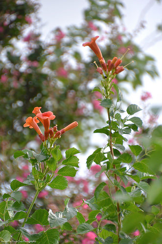 Trumpets with pink crape myrtle in the background