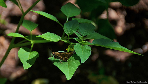 A Skipper rests on my Tomatillo plant.