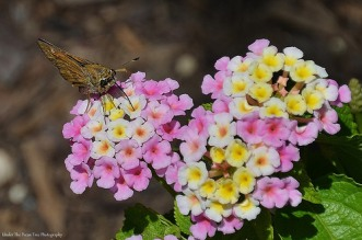 The Skipper enjoys the nectar of the Lantana.