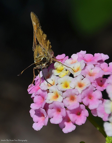 Can you see the long tongue, the skipper uses to get to the nectar?