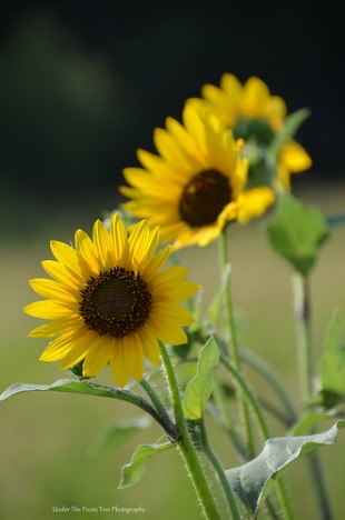 Common Sunflower in the Texas Prairie