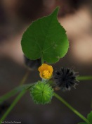 Velvet Leaf/Indian Mallow (Abutilon theophrasti)