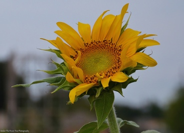 Ro's Sunflower begins to bloom. We can use all the pollinators, we can get in the garden.