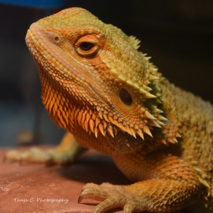 Courtney's male dragon (August 2013)