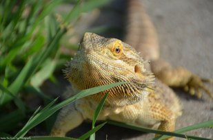 Courtney's female dragon enjoys the outdoors. (July 2014)