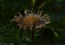 Wilted Thistle