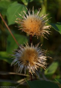 Wilted Thistles