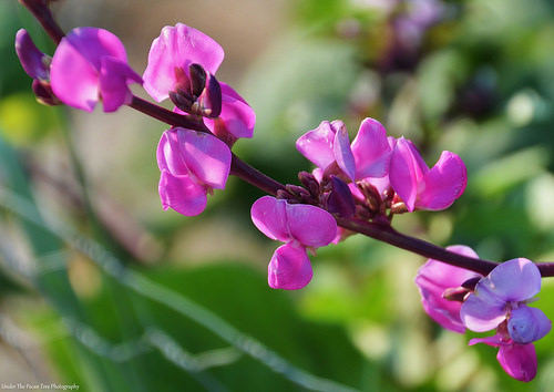 Hyacinth Bean Blossoms in the sunset