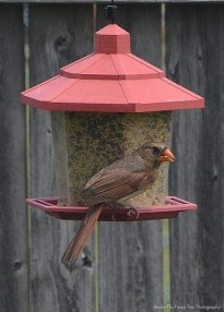 Hungry Mrs. Cardinal
