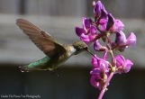 Hummingbird on Hyacinth Bean Blossoms