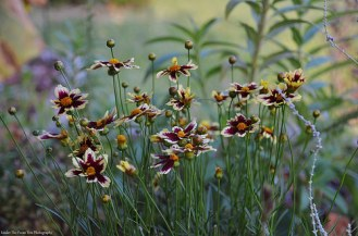 "Coreopsis ""Ruby Frost""/Tickseed"