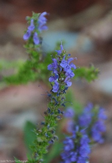 Meadow Sage (Salvia nemorosa)