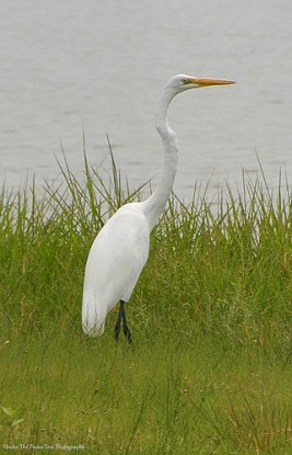 Great Egret at the shoreline